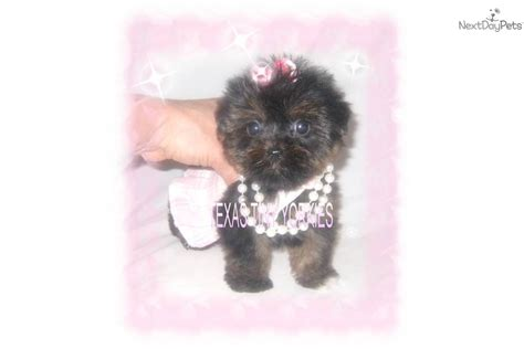 teddy faces shih tzu puppies shih tzu puppy for sale near abilene 26819a60 9fe1