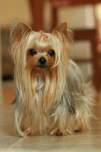 teacup yorkie hair best 25 yorkie haircuts ideas on terrier haircut yorkie and