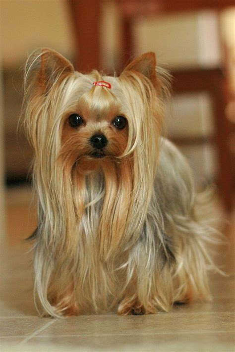 tea cup yorkie hair cuts best 25 yorkie haircuts ideas on pinterest yorkshire