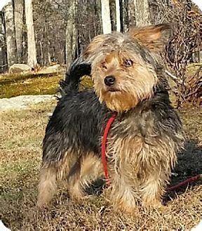 yorkie australian terrier mix forest adopted canterbury ct yorkie terrier australian terrier mix