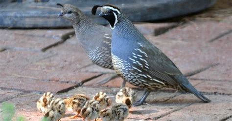 california quail have a large quot extended family quot of quail