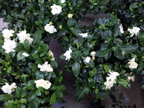 gardenia vaso gardenia coltivazione