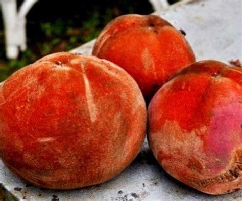 1 Biji Benih Buah Limeberry benih buah bisbul velvet apple