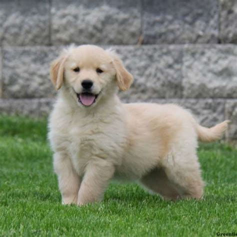 Puppy Golden Retriever golden retriever puppies for sale greenfield puppies