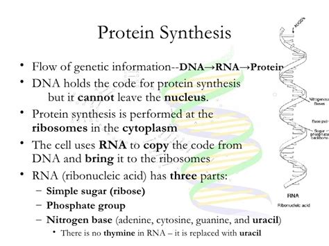 8 protein synthesis steps cell cycle dna and protein synthesis notes new