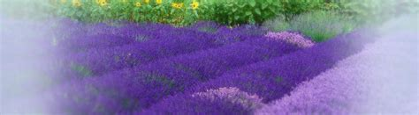 Purple Room Crafts - lavender varieties purple haze lavender sequim washington