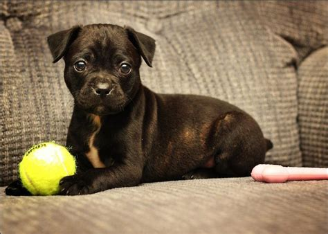 boxer pug boxer pug mix 6 weeks dogs