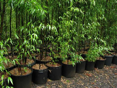 can bamboo be grown in pots f f info 2017