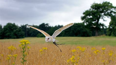 wallpaper owl flight meadows cute animals animals