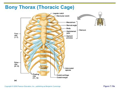 thoracic cage diagram chapter 7