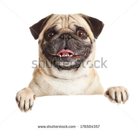 pug dogs 101 pug stock photos images pictures