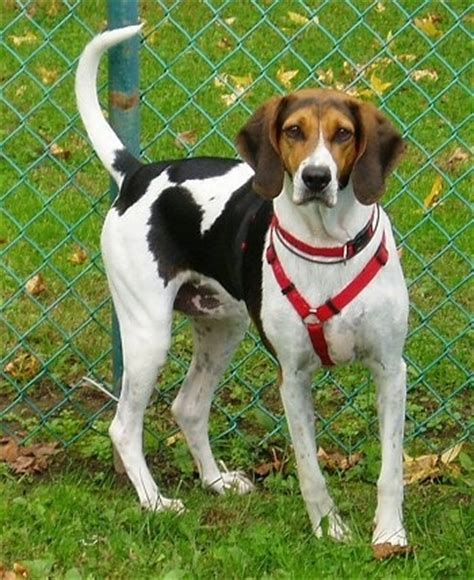 foxhound puppies american foxhound breed information and pictures
