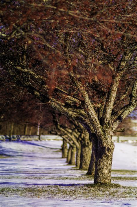 cherry tree maine december 14 2014 cherry trees on college avenue waterville maine flickr photo