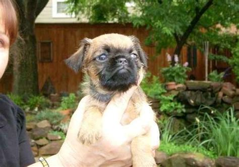 brussels griffon puppies for sale outstanding brussels griffon puppies for sale canon city co asnclassifieds
