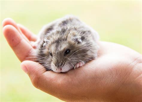 long  hamsters  petmd