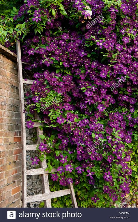 climbing wall plants clematis etoile violette climbing wall purple west dean