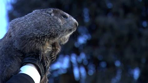 groundhog day groundhog day 2018 punxsutawney phil makes annual weather