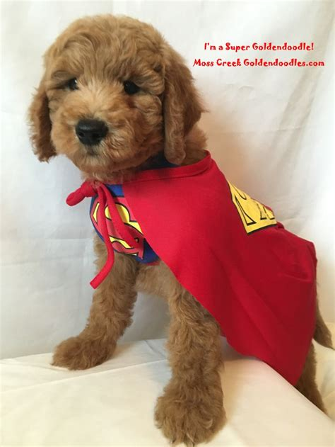 goldendoodle puppy allergies 17 best images about goldendoodle puppies from moss creek
