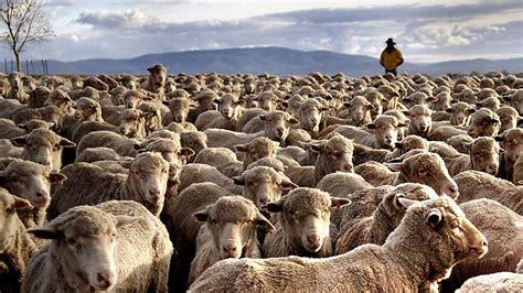 austrailian sheep australian sheep farmers feel the benefit as flock