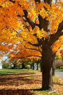 Halloween Decorations For Office - maple tree identification amp mapping blain s farm amp fleet