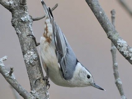 brown creeper identification all about birds cornell