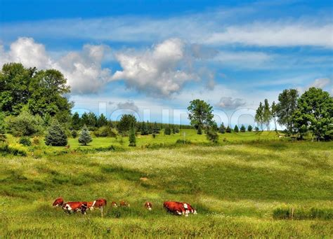 cows at green landscape in upstate new york stock photo colourbox