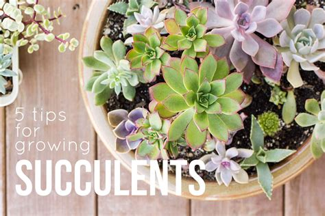 5 succulent care tips for happy healthy succulents succulents and sunshine