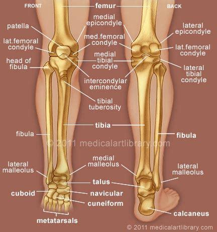 shin bone diagram leg bones library