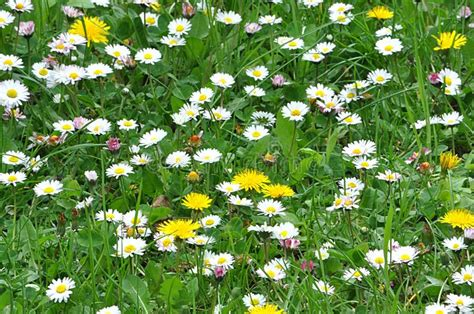 immagini di prati fioriti prati fioriti in primavera fotografia stock immagine di