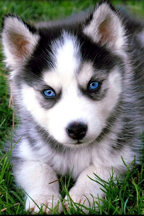 baby husky puppies husky baby kili future family beautiful kili and babies
