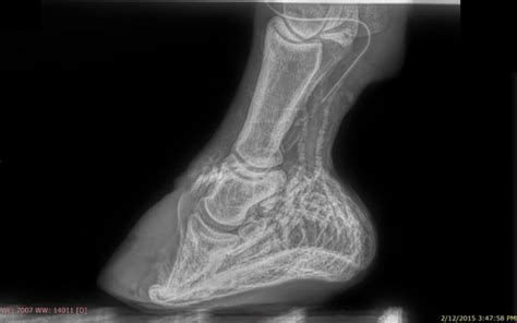 laminitis recovery plan equine veterinary and podiatry services