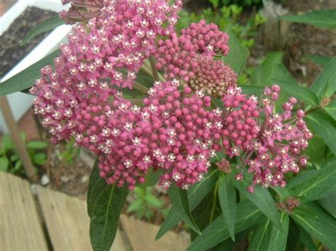 bulk butterfly flower milkweed dark pink asclepia