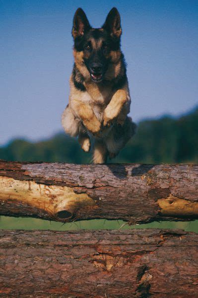 stages of maturity for a german shepherd pets