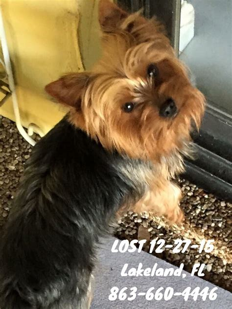 15 pound yorkie 1000 images about florida us lost registry on lost 1 year olds and