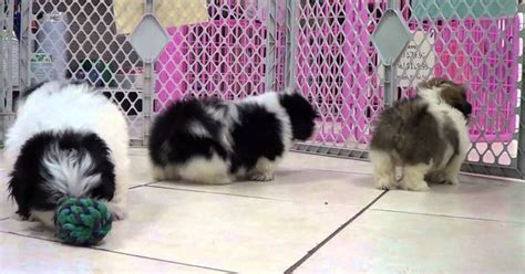 shih tzu for sale in columbia sc shih tzu puppies for sale in columbia south carolina sc rock hill greer