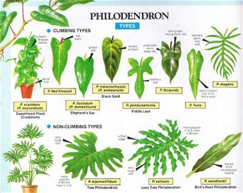 types of garden plants philodendron types landscaping