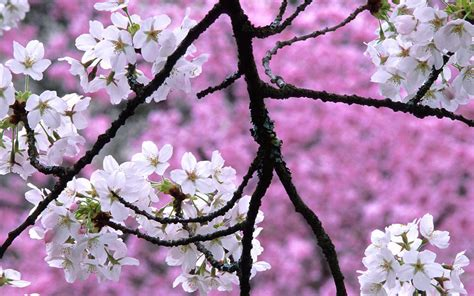 Images Of Cherry Blossoms | spring cherry blossom quotes quotesgram