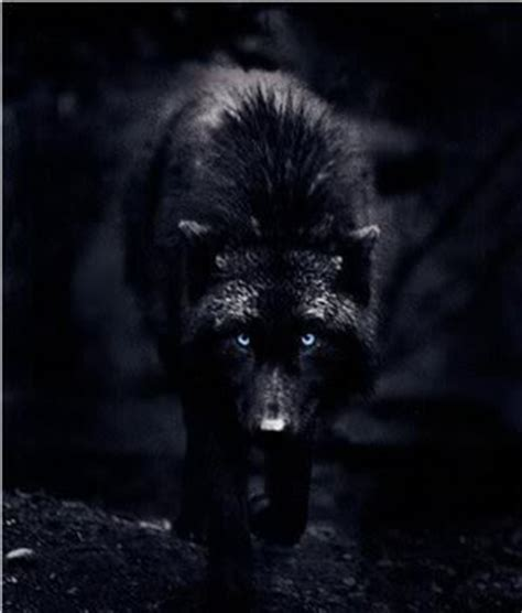 johny dark: A change meeting 2 Growling Black Wolf With Yellow Eyes