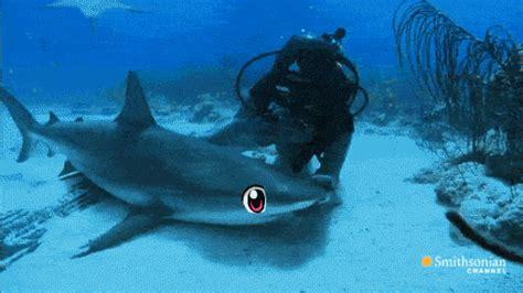 Gif Animals Science Sharks Biology Marine Biology Behavior - shark chan gets noticed xpost r tsunderesharks