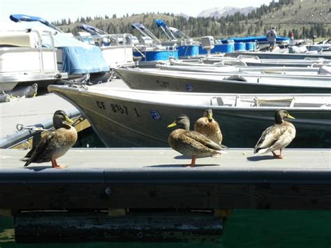 boat repair angels c ca june lake marina with rental boats and friendly ducks