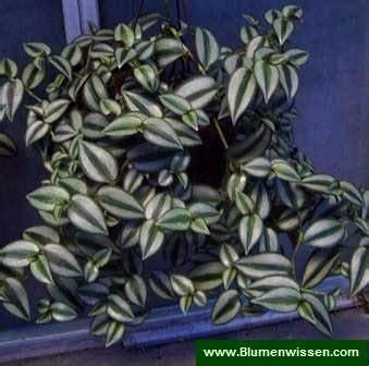 tradescantia zebrina zebrina commelinaceae zebrakraut