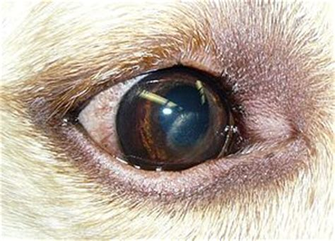 eye problems in dogs eye for the problem areas waycooldogs