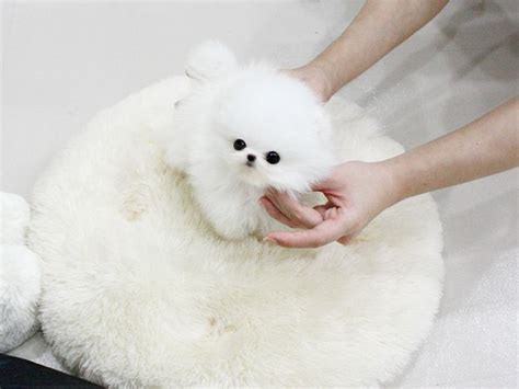 teacup pomeranian price in usa 17 best images about teacup pomeranian on coats canada and dubai