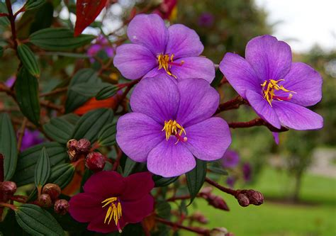 flowers photos photos of colombia flowers tibouchina lepidota