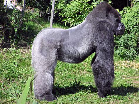 Eastern Lowland Gorilla | Animal Wildlife