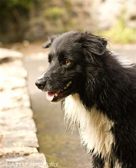 Fashion Colly 73 329 best images about border collie on border
