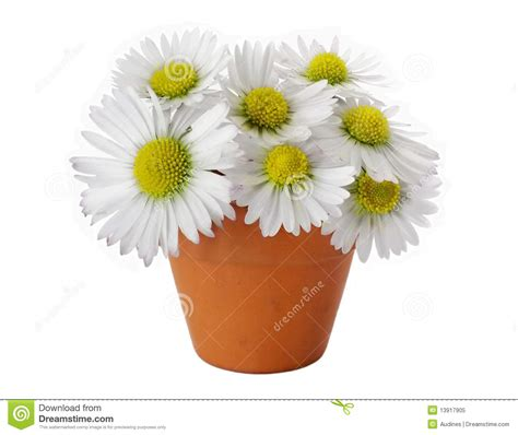 Daisies In A Vase by Daisies In Vase Royalty Free Stock Photo Image 13917905