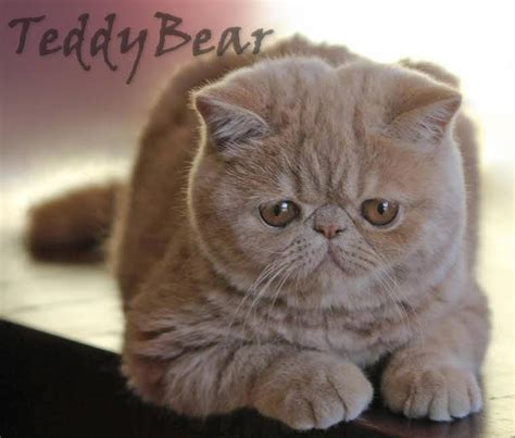 shorthair cat shorthair cat breeders australia kittens