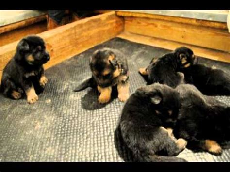 3 week german shepherd puppies 3 week german shepherd puppies