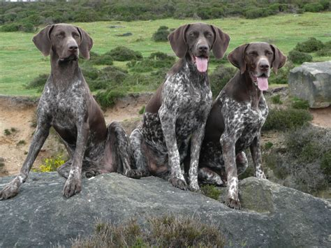 german haired pointer puppies german shorthaired pointer my rocks